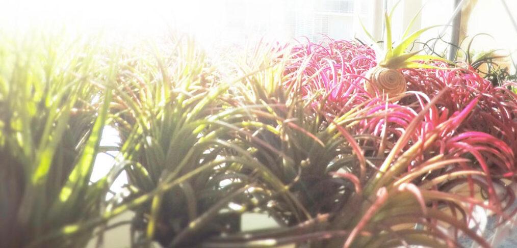 Benenfícios das Tillandsias - Plantas NoAr