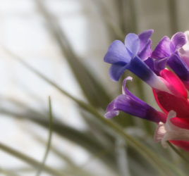 Plantas Noar - Tillandsias - Plantas aéreas