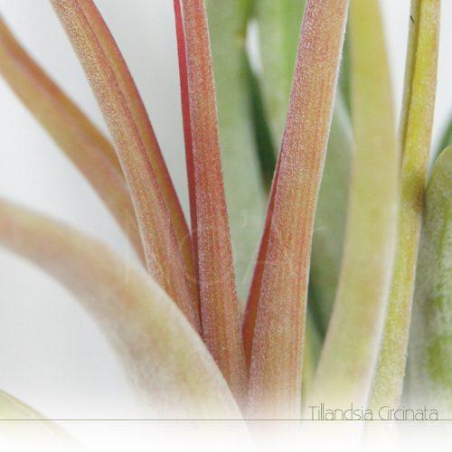 Tillandsia Circinata a alterar cor para florir - Plantas NoAr