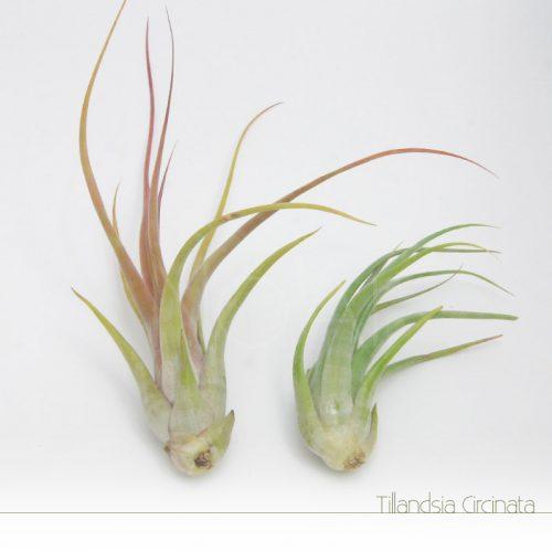 Tillandsia Circinata - Plantas NoAr