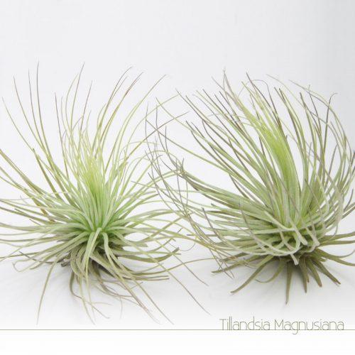Tillandsia Magnusiana - Plantas NoAr