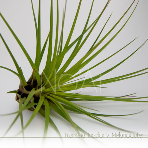 Tillandsia Melanocrater - Plantas NoAr