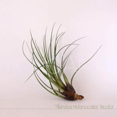 Tillandsia tricolor v. melanocrater