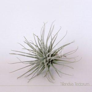 Tillandsia Tectorum
