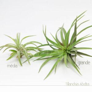 Tillandsia Abdita - Plantas No'Ar