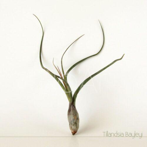 Tillandsia Pseudobaileyi - Plantas No'Ar
