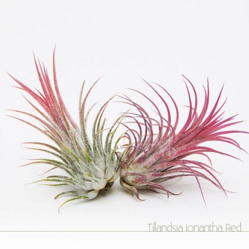 Tillandsia Ionantha Red - Plantas NoAr