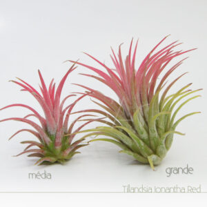 Tillandsia Ionantha Red - Plantas No'Ar