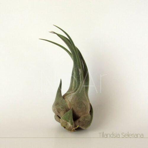Tillandsia Seleriana - Plantas No'Ar