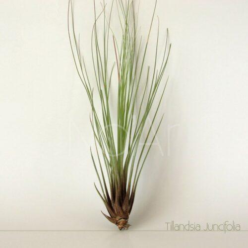 Tillandsia Juncifolia - Plantas No'Ar