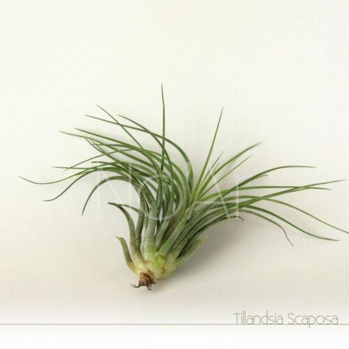 Tillandsia Scaposa - Plantas NoAr