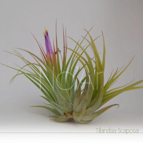 Tillandsia Scaposa com filhote e flores - Plantas NoAr