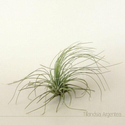 Tillandsia Argentea - Plantas No'Ar