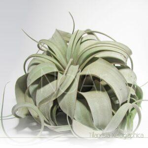 Tillandsia Xerographica - Plantas NoAr