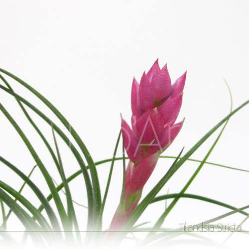 Tillandsia Stricta em flor