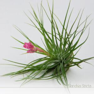 Tillandsia Stricta em flor - Plantas No'Ar