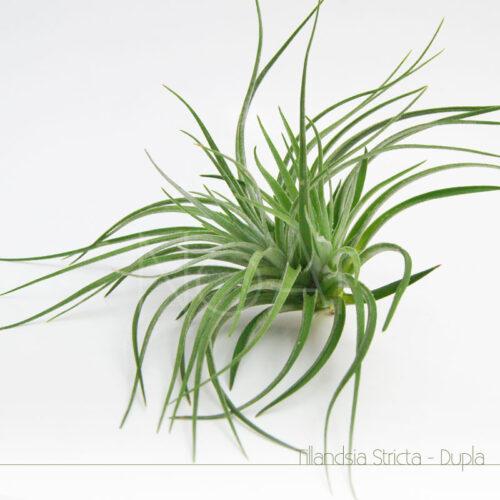 Tillandsia Stricta Dupla - Plantas No'Ar