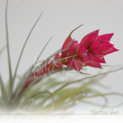 Tillandsia Silver em flor - Plantas NoAr