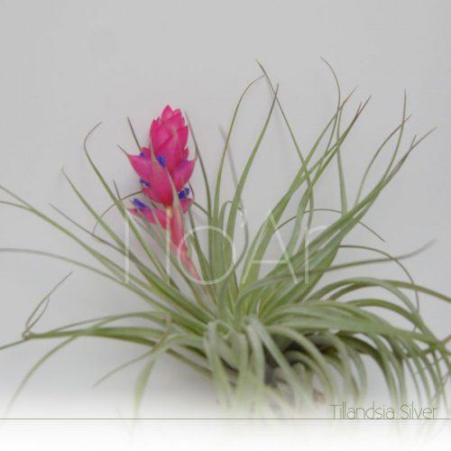 Tillandsia Silver em flor - Plantas No'Ar