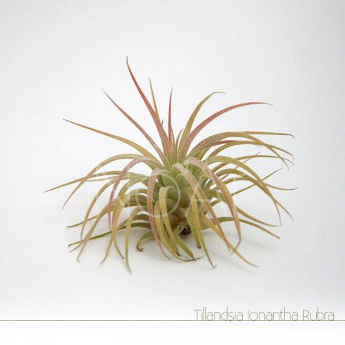 Tillandsia Ionantha Rubra - Plantas NoAr