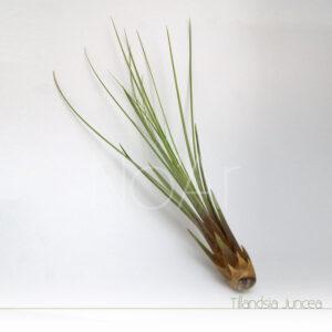 Tillandsia Juncea - Plantas NoAr