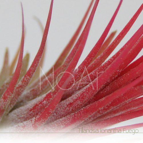 Tillandsia Ionantha Fuego - Plantas No'Ar
