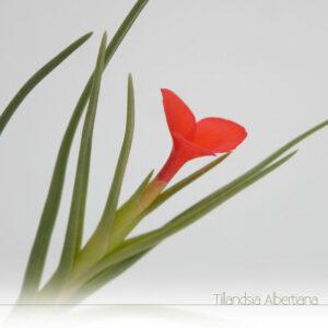 Tillandsia Albertiana em flor - Plantas NoAr