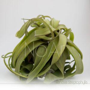 Tillandsia streptophylla - Plantas No'Ar