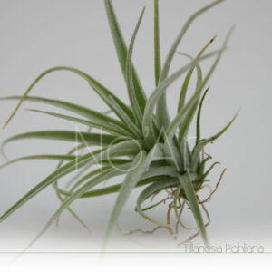Tillandsia Pohliana - Plantas NoAr