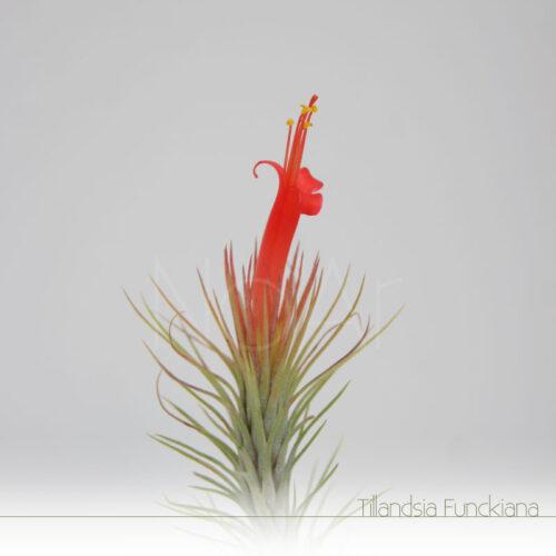 Tillandsia Funckiana em flor - Plantas No'Ar