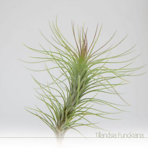 Tillandsia Funckiana - Plantas No'Ar