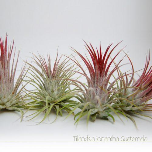 Tillandsia Ionantha Guatemala