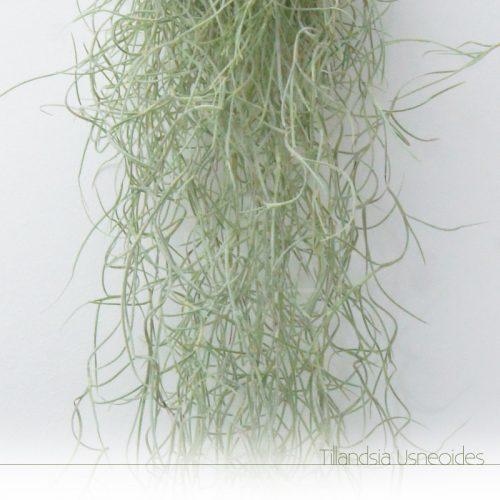 Tillandsia Usneoides - Plantas NoAr