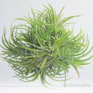 Tillandsia Ionantha Tufo - Plantas No'Ar
