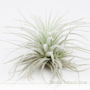 Tillandsia Tectorum Snow - Plantas No'Ar
