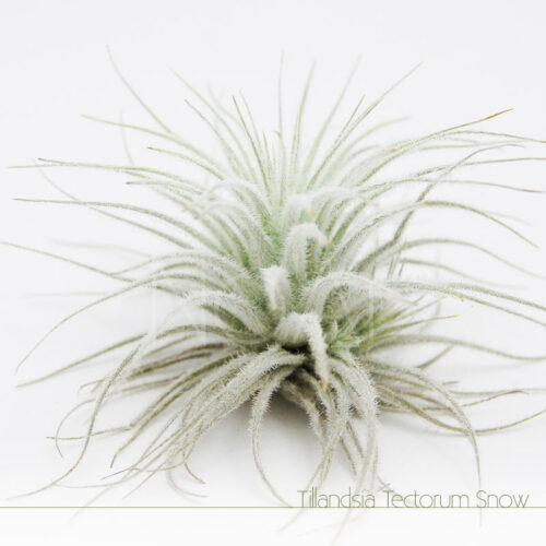 Tillandsia Tectorum - Plantas No'Ar