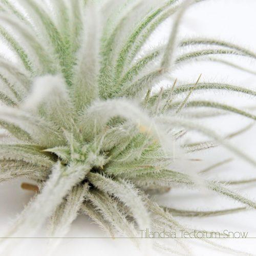 Tillandsia Tectorum Snow com filhotes - Plantas No'Ar