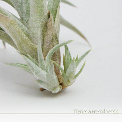 Tillandsia Fresnilloensis - Rebentos - Plantas No'Ar