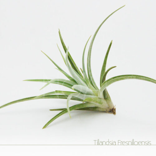 Tillandsia Fresnilloensis - Plantas No'Ar
