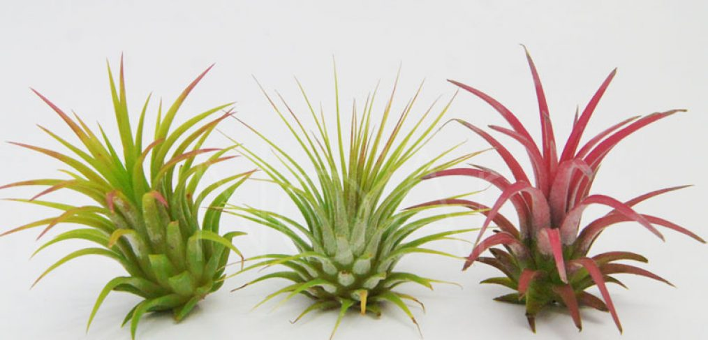 Conjunto de Tillandsias Ionantha - 3 Plantas - Comece a sua coleção