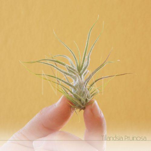 Tillandsia Pruinosa - Plantas No'Ar