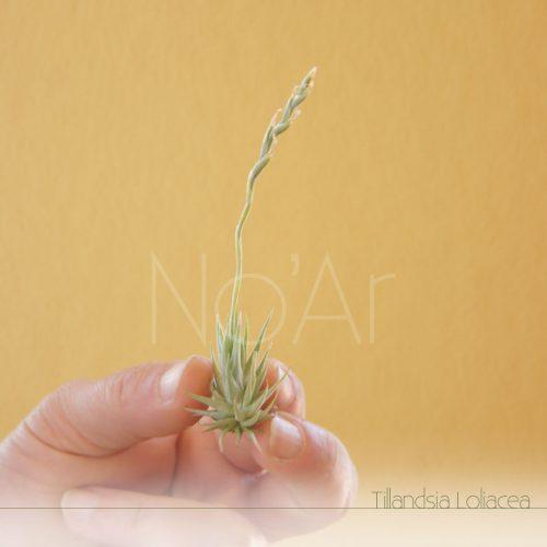 Tillandsia Lolilacea - Plantas No'Ar