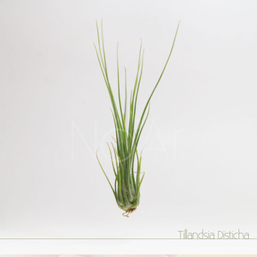 Tillandsia Disticha - Plantas No'Ar