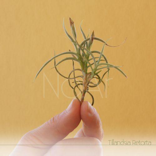 Tillandsia Retorta - Plantas No'Ar