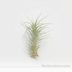 Tillandsia Heteromorpha - Plantas Noar