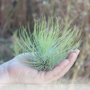 Tillandsia Andreana - Plantas Noar