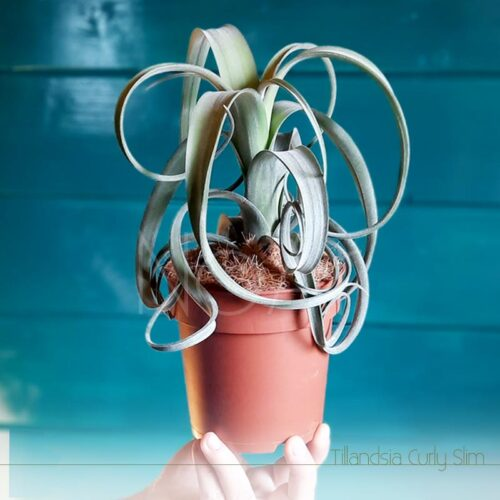 Tillandsia Curly Slim em vaso - Plantas NoAr