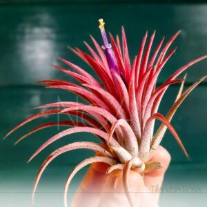 Tillandsia Rosa - Plantas NoAr